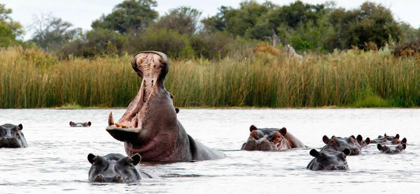 hippos-uganda