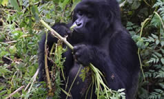 Why Uganda best for gorillas